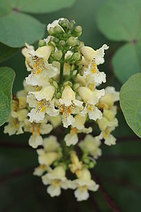 梓树的花朵