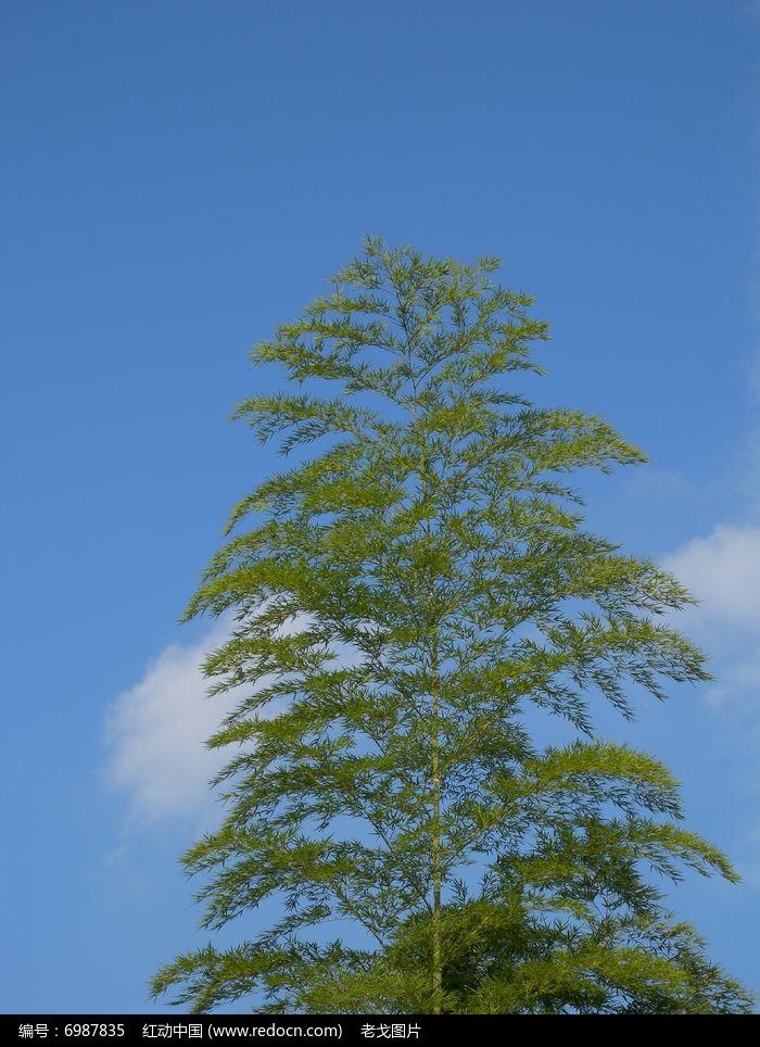 松树 蓝天 白云图片,高清大图_树木枝叶素材