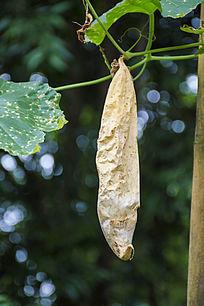 藤蔓上干枯的长瓜