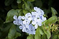 一簇淡蓝色的花卉