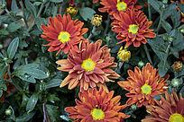 一片橙色的小菊花