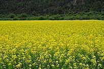 一望无际的黄色花儿