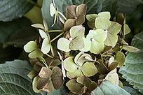 一株绿色的绣球花