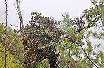 原始森林中的一颗树