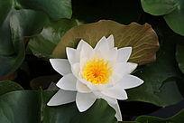 半立的莲叶与白色花朵