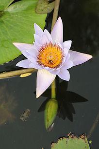 淡紫色的花朵与水中花雷