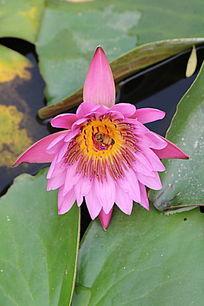 粉紫色花朵蜜蜂