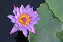 荷叶水滴粉紫色花朵