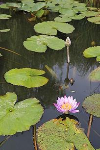 花朵花蕾与刚露出水面的花蕾