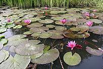 漂浮的莲叶粉色花朵