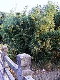 桥头的竹子