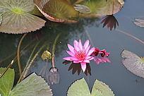 水中半开的花朵与水面开放的花朵