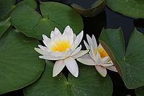 一朵白睡莲与莲叶半遮挡的花朵