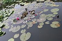 一片放射状莲叶与花朵