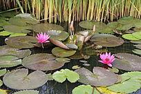 紫色绿色莲叶粉色花朵