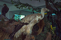 动物标本秃鹫