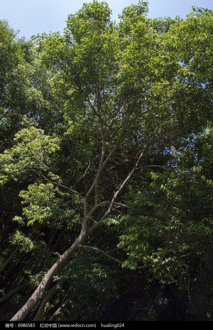 阴香树图片,高清大图_树木枝叶素材