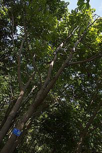 枝繁叶茂的海南蒲桃
