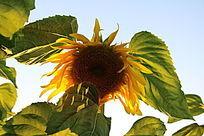 金色花瓣与透过阳光的叶子
