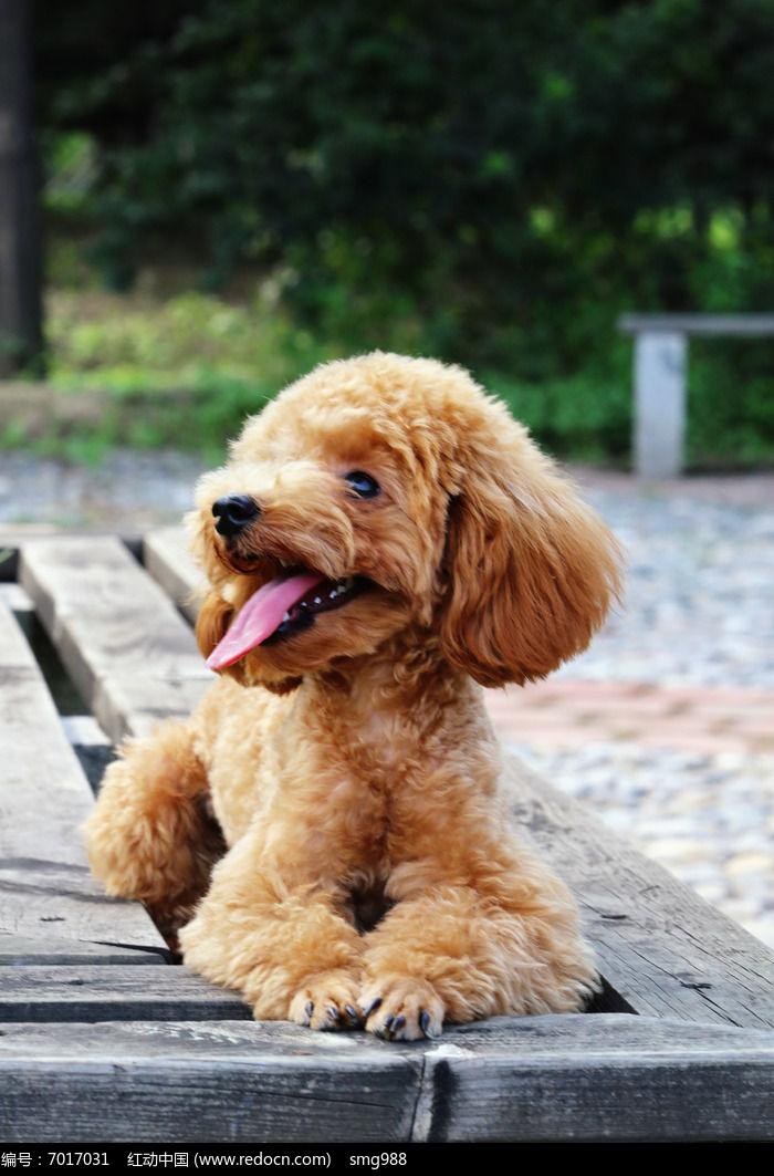 爬在长椅上的可爱小狗泰迪图片