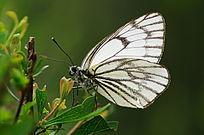 树叶上的白色蝴蝶