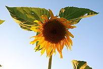 夕阳西照下一朵金色的向日葵