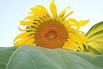 一朵盛开的望日莲与叶子