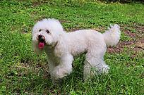 白色贵妃犬
