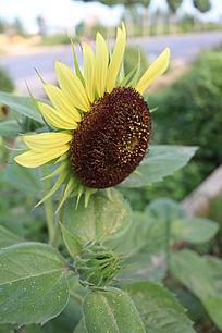 半边花瓣的花盘与花蕾
