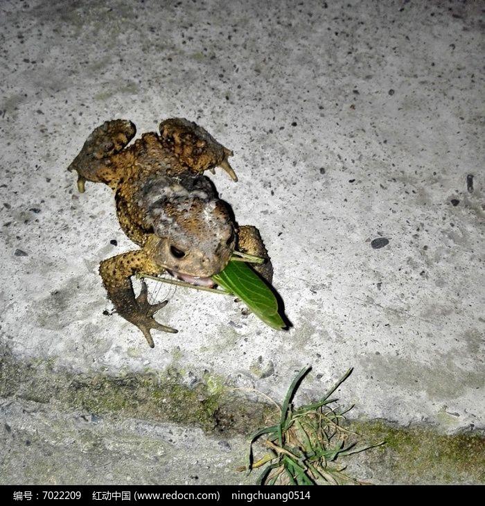蟾蜍捕食图片,高清大图_陆地动物素材