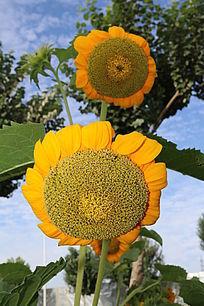 两朵盛开的望日莲