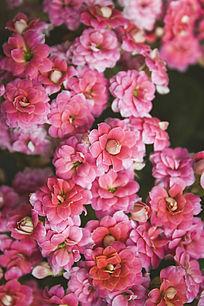 鲜艳的红色多肉花卉