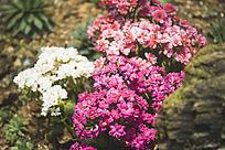 一片鲜艳的多肉花卉