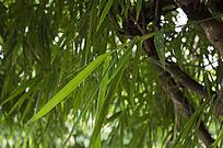 翠绿的竹子