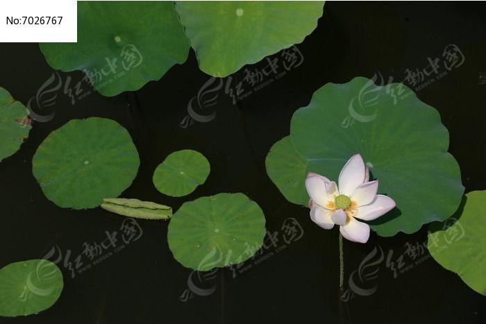 俯视白色莲花图片,高清大图