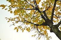 枯黄的树叶