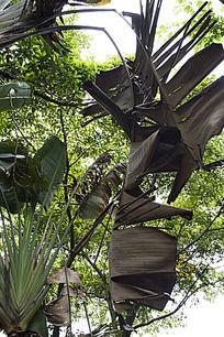枯萎的芭蕉树叶子