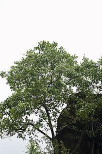 生命力旺盛的细叶榕树