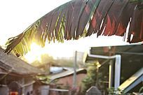 阳光下的芭蕉叶