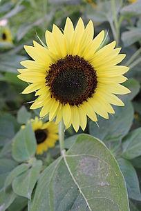 一朵淡黄色花瓣的 转日莲