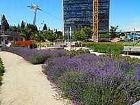 紫色花卉观赏草种植