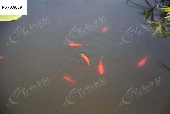 池塘游动的小金鱼