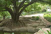 大榕树树木风景图片