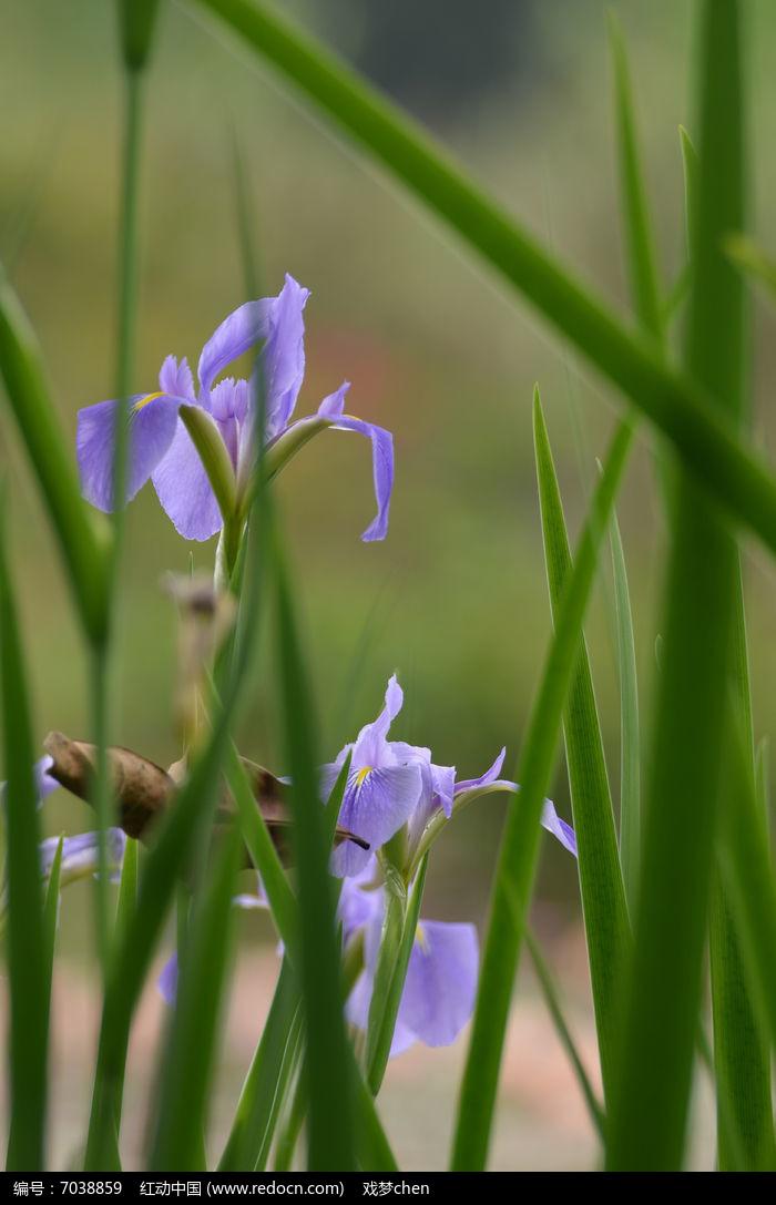 美丽的蓝蝴蝶花卉风景图片高清图片下载 编号7038859 红动网