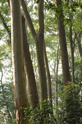桉树林树干风景图片