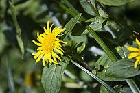 黄色的小雏菊