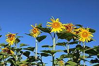 蓝天下的一排向日葵