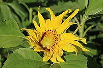 绿叶丛中一朵带露珠的向日葵