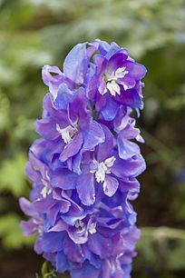 盛开的蓝色花朵