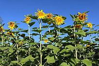 一排盛开的向日葵